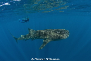 Whale shark at the Silver Banks. by Christian Schlamann 